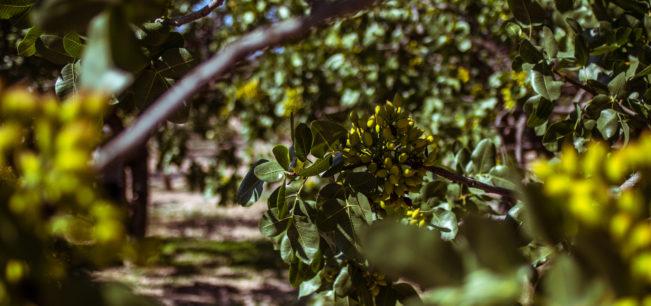 pistachiogeneral